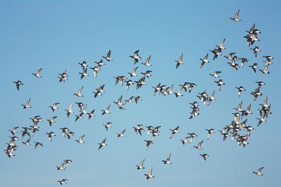 139 canards siffleurs + 2 canards souchets