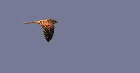 migration-cap-sicie (4)faucon-crecerelle