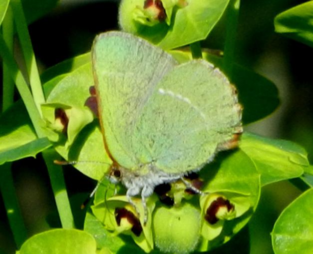 collophrys-avis-eJCB