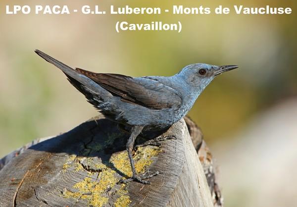 Monticole bleu male avec visuel LMV texte blanc(BD)