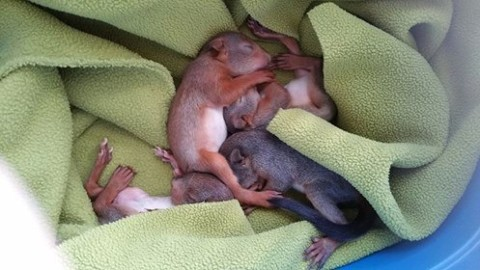 Écureuils roux, Sciurus vulgaris