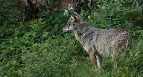 Loup gris (Canis lupus) - Crédit photo : Manon Batista