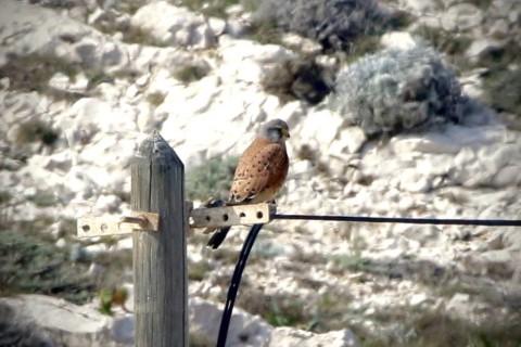 Faucon crécerelle, Falco tinnunculus © Gilles Oliver