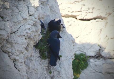 Choucas des tours, Corvus monedula © Gilles Oliver