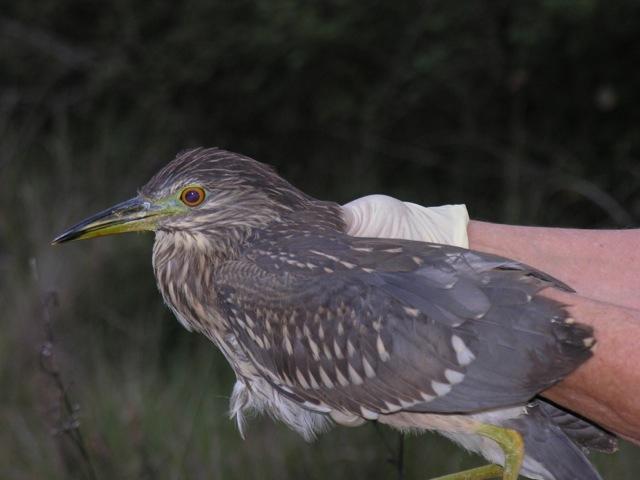 Heron Bihoreau