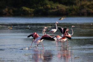 flamant rose IMG_1725_-_Copie