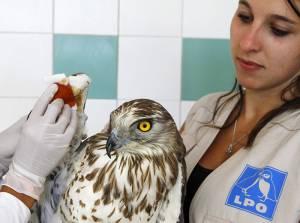 Circaète en soins au centre de sauvegarde de la Faune sauvage de Buoux E Eloise Deschamps