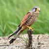 Faucon crécerelle © Bernard Deceuninck