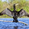 Grand cormoran © André Simon