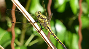 Orthetrum _ photo Benjamin kabouche