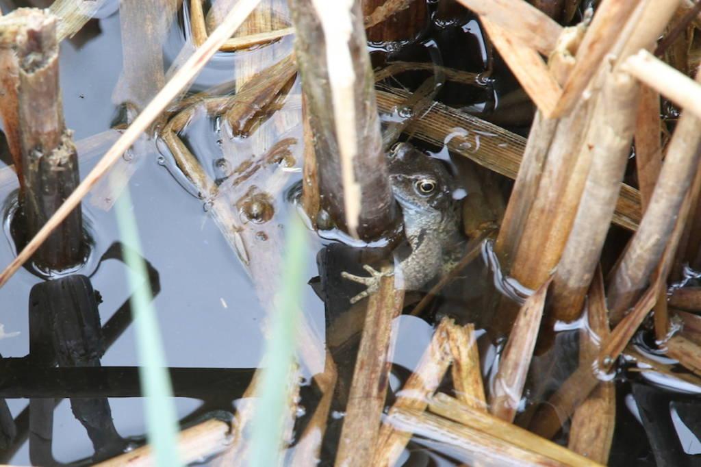 grenouille rousse toute jeune