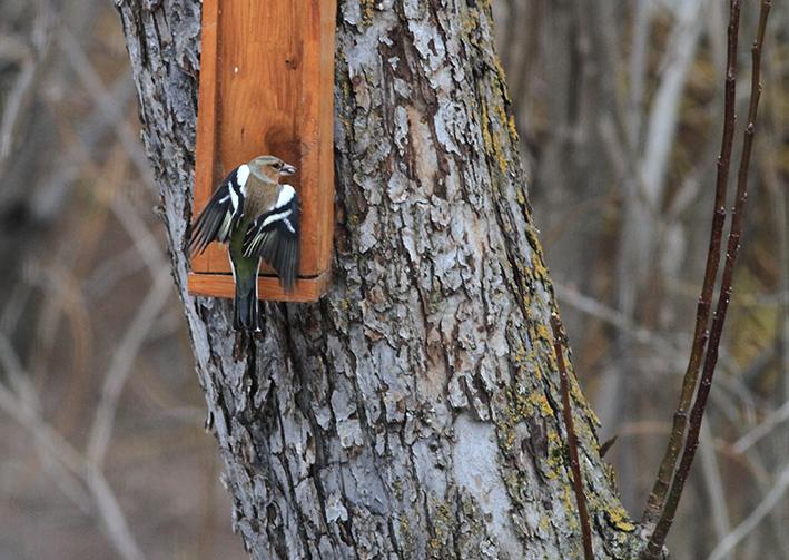 Pinson des arbres ©Steeve Peyron