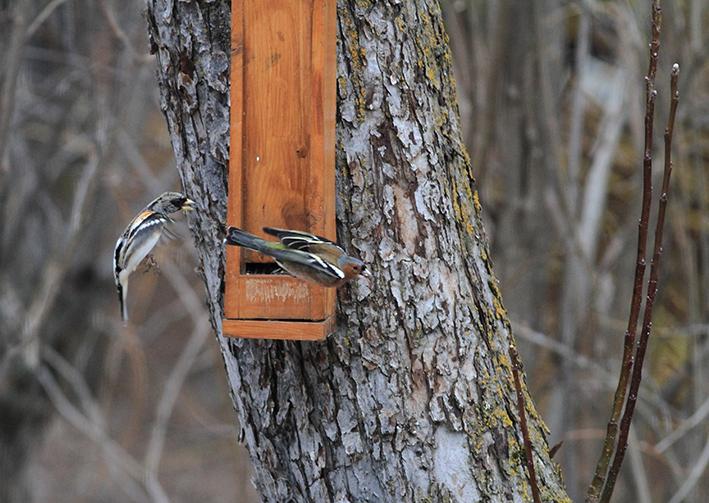 Un pinson chasse l'autre Pinson du Nord et Pinson des arbres ©Steeve Peyron