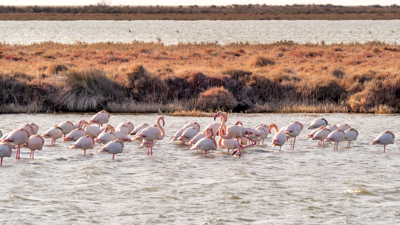 Flamants camargue