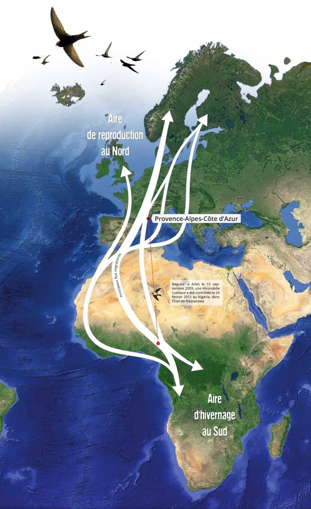 Couloirs de migration des hirondelles et des martinets