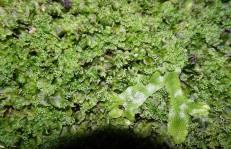 Pellia endiviifolia et Conocephalum conicum © C. Lemarchand