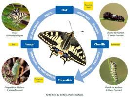 Cycle de vie du Machaon - La Faune des Bouches-du-Rhône