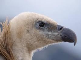 Relâcher du vautour fauve © Élodie Malmejean