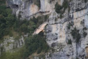 Vautour fauve en vol © Marc Pastouret
