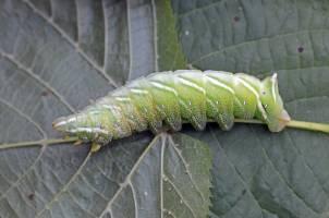 Chenille du Bombyx versicolore © J.M. Lemaire