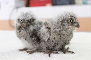 Jeunes Hiboux petits-ducs en soins © Marine Steinmann
