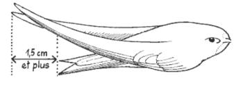 Les plus des ailes d'un adulte dépassent les plumes de la queue d'1,5 cm au moins.