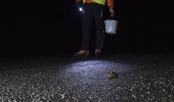 Sauvetage d'un crapaud sur la route © Alain Hugues