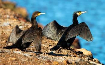 Grand cormoran © Aurélien Audevard
