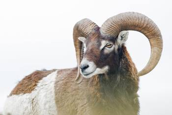 Mouflon © Charly Gicqueau