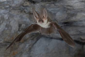 Plecotus austriacus_Jean-Michel Bompar