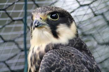 Faucon hobereau © Marine Steinmann