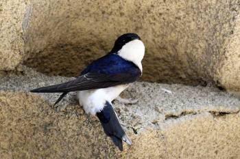 Hirondelle de fenêtre au nid © Grégory Delaunay
