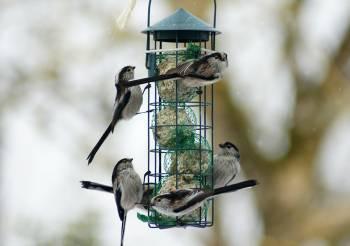 Mésanges à longue queue sur une mangeoire - photo Christine Monleau