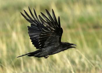 Grand corbeau © Aurélien Audevard