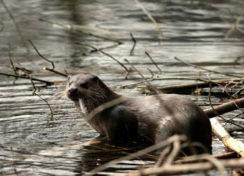 Loutre d'Europe © Philippe Baffie