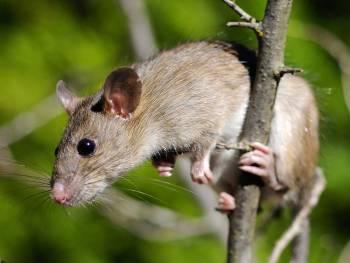 Rat noir © Jean-Michel Bompar