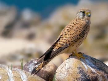 Faucon crécerelle © E. Barbelette