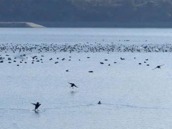 Oiseaux d'eau hivernants sur le bassin d'éclusée de Cadarache © Julie MÉRIGOT