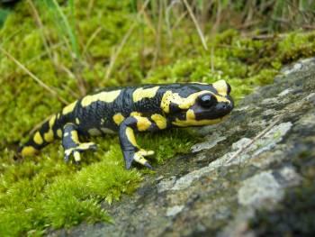 salamandre tachetee aurelien audevard
