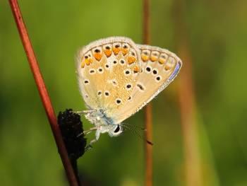 Argus bleu (Polyommatus icarus) © Marion Fouchard
