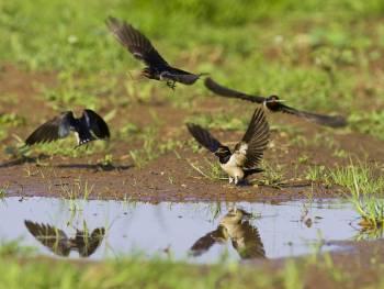 Hirondelles rustiques récoltant de la boue pour construire leur nid © André Simon