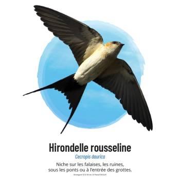 Hirondelle rousseline © Pascal Saulay
