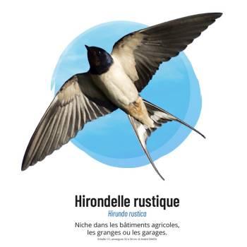Hirondelle rustique © André Simon