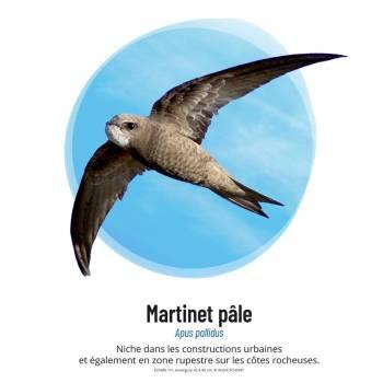 Martinet pâle © André Schont