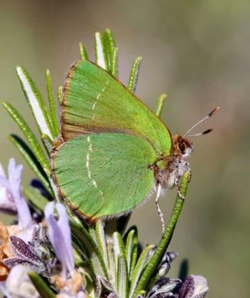 La Thécla verte de l'Arbousier © Marion Fouchard