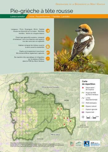 Observatoire de la biodiversité du Mont-Ventoux : La Pie-grièche à tête rousse