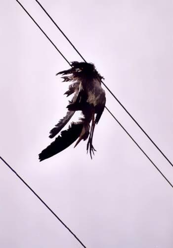 Héron cendré ayant percuté une ligne électrique - photo Francois Fleutry