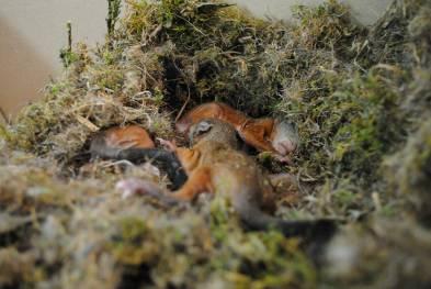 Récupération des bébés écureuils dans leur nid à cause d'élagages ©Steinmann Marine