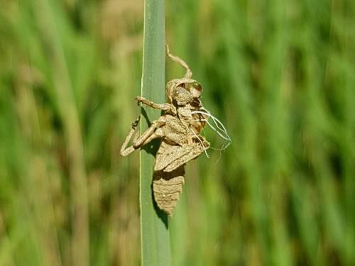 Exuvie de libellules © Marion Fouchard