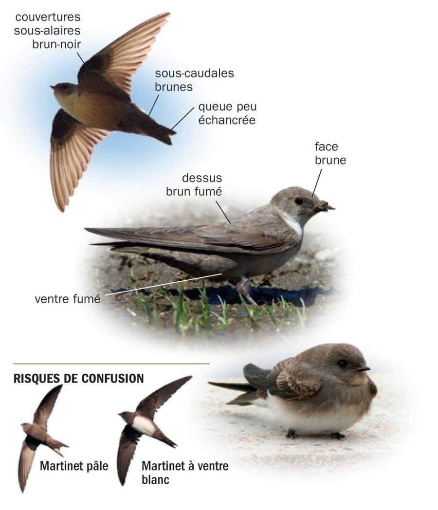 Hirondelle de rochers © Tous les oiseaux de France ISBN 978-2-603-02074-6 - Reproduction interdite